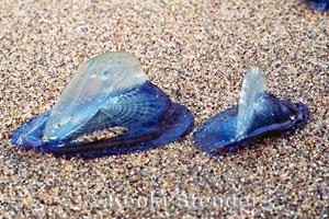 Marine Invertebrate of the Week: Violet Snail (3/6)