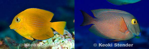 Three Yellow Fish, Three Different Species (2/3)