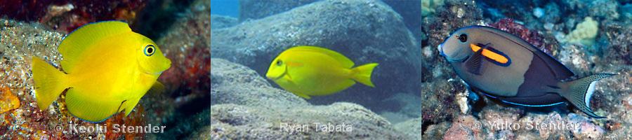 Three Yellow Fish, Three Different Species (1/3)