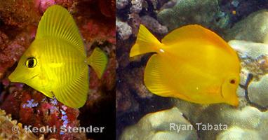 Three Yellow Fish, Three Different Species (3/3)